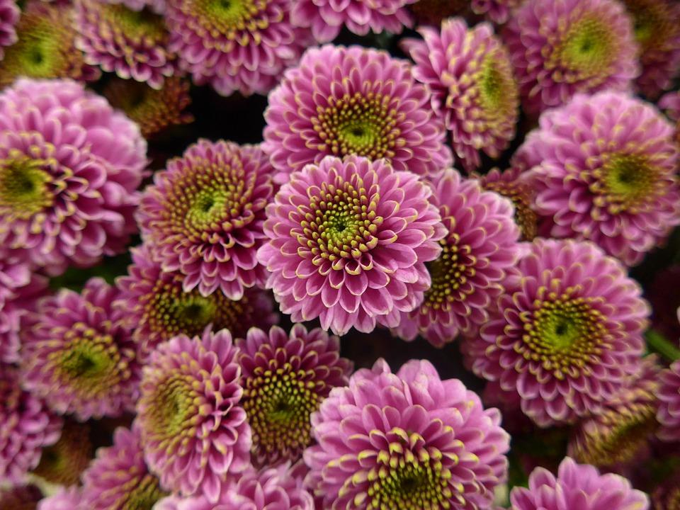 chrysanthemum-1140484_960_720